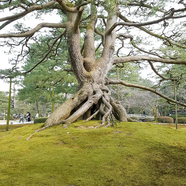 Majestic Tree in Japan