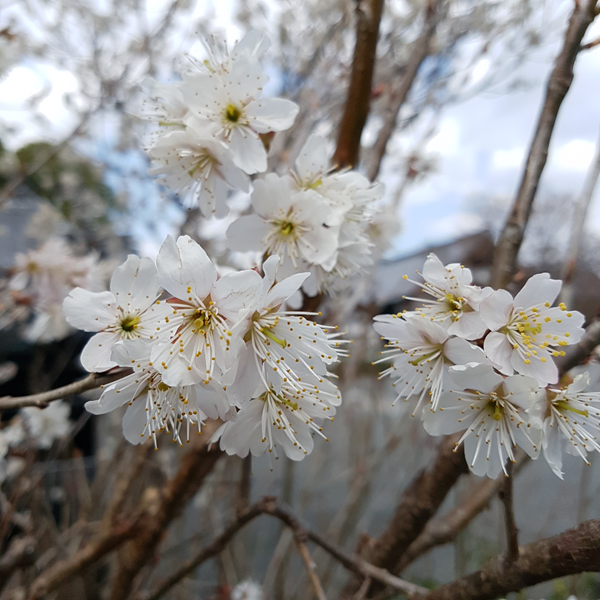 White Sakura in Kyoto