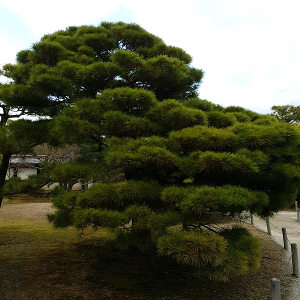Beautiful Tree in Kyoto